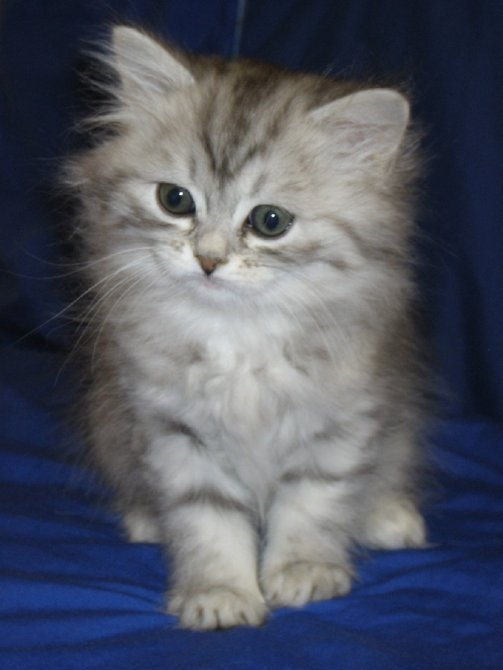 Chinchilla persian cat breeders uk